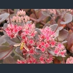 Picture of Hylotelephium (Sedum) 'Bertram Anderson'