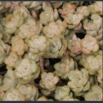 Picture of Sedum spathulifolium 'Capo Blanco'