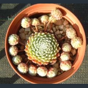 Picture of Sempervivum arachnoideum