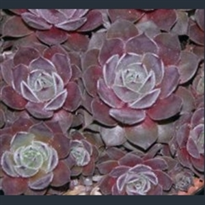 Picture of Sempervivum 'Engle's'
