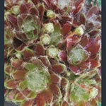 Picture of Sempervivum 'Kramers Spinrad'