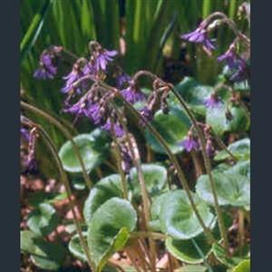 Picture of Soldanella villosa