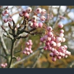 Picture of Sorbus koehneana