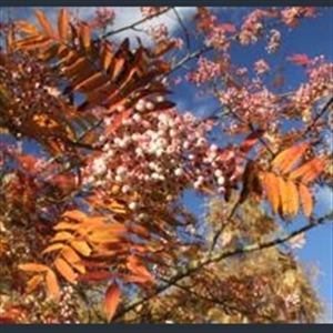Picture of Sorbus parvifructa