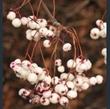 Picture of Sorbus aff. vilmorinii