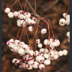 Picture of Sorbus aff. vilmorinii