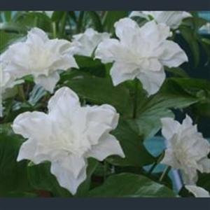 Picture of Trillium grandiflorum 'Snowbunting'