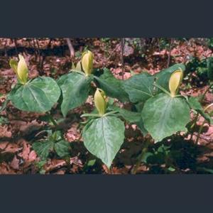 Picture of Trillium luteum