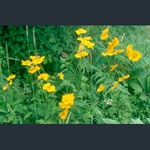 Picture of Trollius chinensis 'Golden Queen'