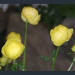 Picture of Trollius x cultorum 'Lemon Queen'