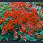 Picture of Tropaeolum speciosum