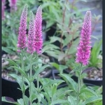 Picture of Veronica spicata 'Heidekind'