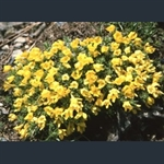 Picture of Vitaliana primuliflora subsp. cinerea