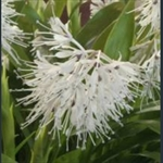 Picture of Ypsilandra thibetica