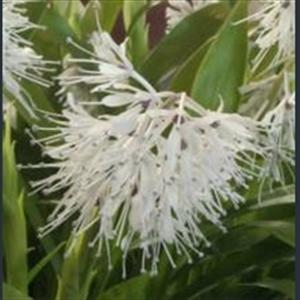 Picture of Ypsilandra thibetica