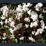 Picture of Cyclamen hederifolium var. hederifolium f. albiflorum