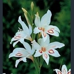 Picture of Gladiolus 'Nymph'