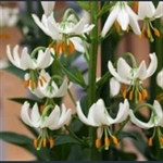 Picture of Lilium martagon var. album