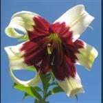 Picture of Lilium nepalense