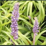 Picture of Liriope muscari