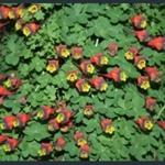 Picture of Tropaeolum tricolor