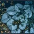 Picture of Brunnera macrophylla 'Jack Frost'