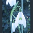 Picture of Galanthus reginae-olgae