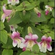 Picture of Erythranthe (Mimulus) naiandina