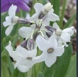 Picture of Primula chionantha subsp. chionantha