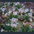 Picture of Primula 'Gigha'