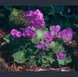 Picture of Primula polyneura