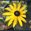 Picture of Rudbeckia fulgida var. sullivantii 'Goldsturm'