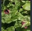Picture of Trillium erectum red-flowered