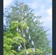 Picture of Aconitum piepunense