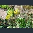 Picture of Chiastophyllum oppositifolium