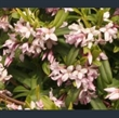 Picture of Daphne wolongensis 'Kevock Star'