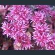 Picture of Phedimus (Sedum) spurius 'Ruby Mantle'