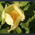 Picture of Paeonia daurica subsp. mlokosewitschii (seed grown)