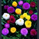 Picture for category Ranunculus asiaticus
