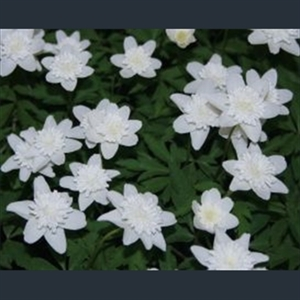 Picture of Anemone nemorosa 'Vestal'