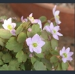Picture of Anemonella thalictroides
