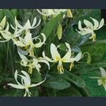 Picture of Erythronium oregonum