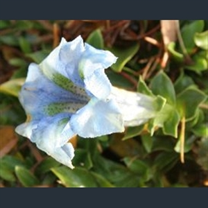 Picture of Gentiana 'Sternschuppe'