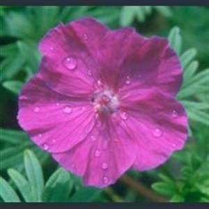 Picture of Geranium sanguineum