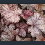 Picture of Heuchera 'Amethyst Mist'