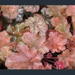 Picture of Heuchera 'Can-can'