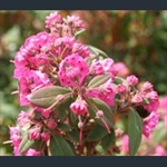 Picture of Kalmia angustifolia