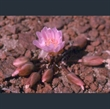 Picture of Lewisia rediviva