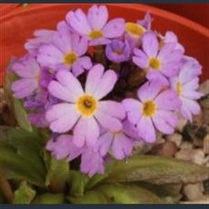 Picture of Primula auriculata subsp. olgae