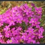 Picture of Primula megaseifolia